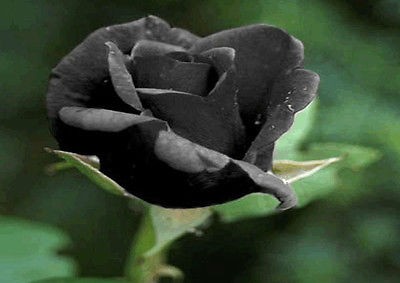 Rose Seeds - BLACK ROSE - Unique Fragrant Perennial Shrub - Very Rare - 10 Seeds
