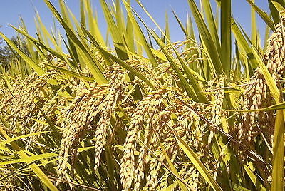 Rice Seeds - SWEET RICE - Grow Your Own - theseedhouse - 200 Organic Seeds