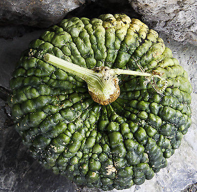 Squash Seeds ~ MARINA DE CHIOGGIA ~ Heirloom Variety ~Unique~ 20 Organic Seeds~