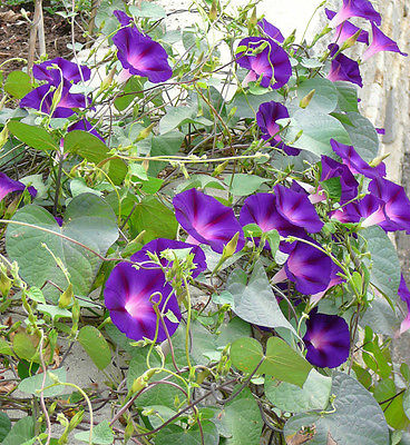 Morning Glory Seeds ~ GRANDPA OTT ~ Annual Climbing Vine ~ Canada ~  20 Seeds