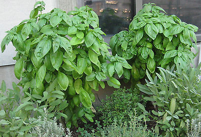 Basil Seeds - GENOVESER - Popular Herb for Flavoring - MEDICINAL - 50+ Seeds