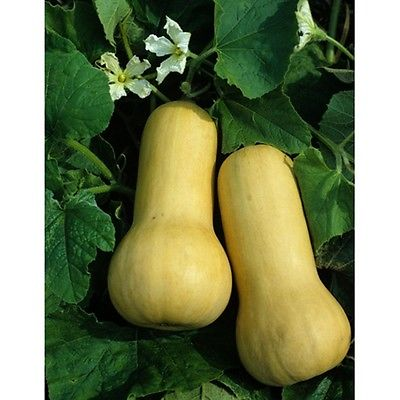 Squash Seeds - EARLY BUTTERNUT HYBRID - Vegetable - theseedhouse - 10+ Seeds