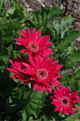 Gerbera Daisy Seeds - HOT PINK - Attracts Butterflies & Hummingbirds - 10 Seeds