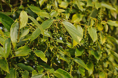 Green Peppercorn Seeds - Organic - Climbing Vines - 1000+ Organic Seeds