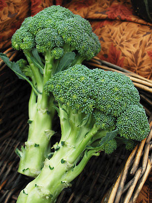 Broccoli Seeds - GREEN MAGIC - Early Maturity - Heirloom -Gmo Free- 1000+ Seeds