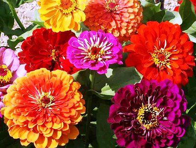 Zinnia Seeds - CALIFORNIA GIANTS - Huge 6
