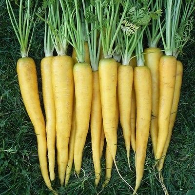 Carrot Seeds - SOLAR YELLOW - Heirloom Vegetable - Unusual -  50+ Seeds