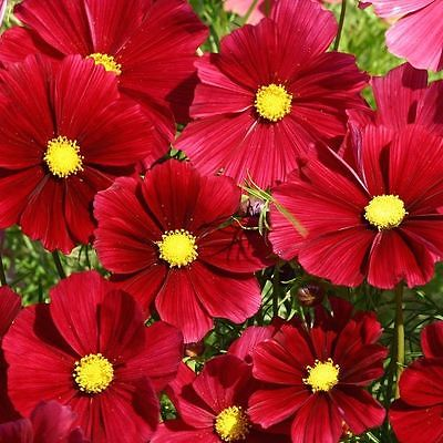 Cosmos Seeds - RUBENZA - Cosmos Bipinnatus - Rose Shaded Annuals - 25 Seeds