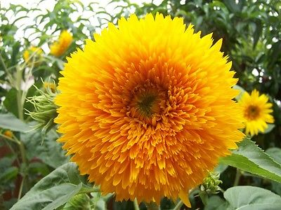 Sunflower Seeds - TEDDY BEAR - Unique Sunflower Variety - Annual - 10 Seeds