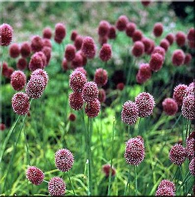 Drumstick Allium Seeds - Beautiful Perennial Plant - 25 Organic Seeds