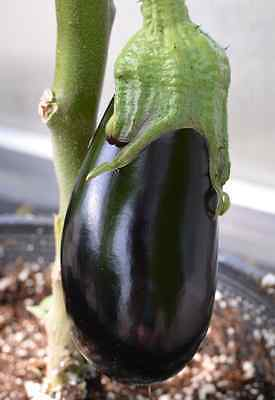 Eggplant Seeds - NADIA - Great Tasting, High Yielding - F1 Hybrid -  - 25 Seeds