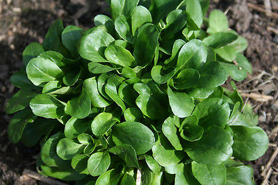 Corn Salad Seeds - Yummy Salad Green - Gmo Free - Very Hardy Plant - 50 Seeds