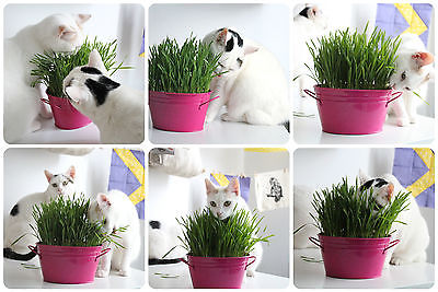 Organic Cat Grass Seeds - OATS - Great Natural Treat - 1000+ Seeds   =^..^=