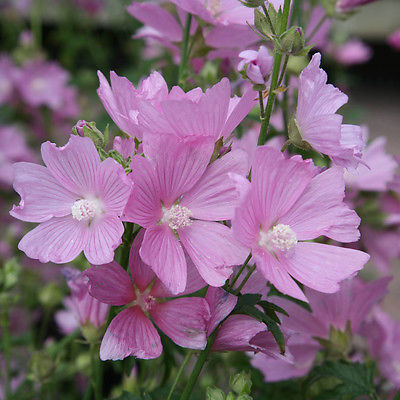 Malva Seeds - MOSCHATA ROSEA - Musk Mallow - Fragrant Perennial - 50 Seeds