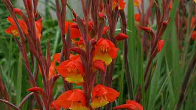 Gladiolus Dalenii Bulbs - HALLOWEENIE - Sword Lily - Parrot Beak - 6 Bulbs