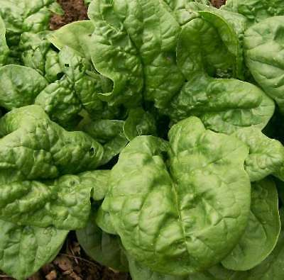 Spinach Seeds - BLOOMSDALE - Excellent Flavor-High Yielding Vegetable-1000 Seeds