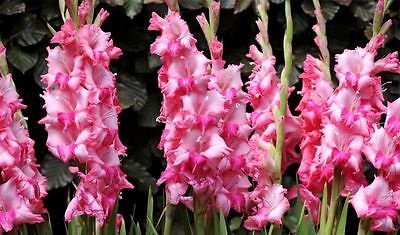 Gladiolus Bulbs - EMOTION - Sword Lily - Great Cut Flowers - 6 Bulbs