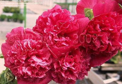 Alcea Chaters Seeds - ALTHEA - Double Red - Canadian Cottage Garden - 25+ Seeds