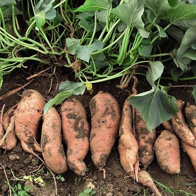 Beauregard Galaxy Sweet Potatoes - Great House Plant - Trailing Vine - 5 Tubers