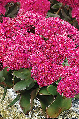 Sedum Spectabile Plant - BIRTHDAY PARTY -Autumn Stonecrop Perennial - 4 Cuttings
