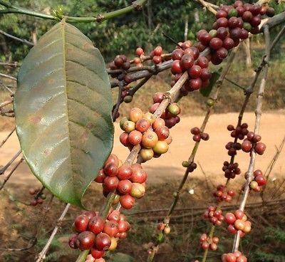 Coffee Bean Plant Seeds - INDIAN MONSOON MALABAR - Tropical Tree - 25 Seeds