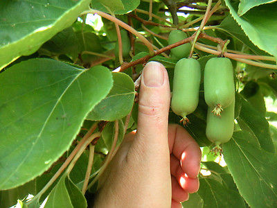 Kiwi Seeds - CHICO ACTINIDIA ARGUTA - Rare, Sweet Fruit - GMO FREE - 25 Seeds