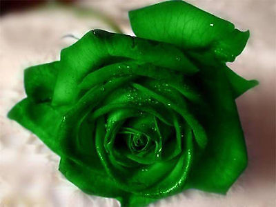Emerald Rose Seeds - Bright Green Blooms - Winter Hardy Plant - 20 Seeds