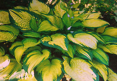 Hosta Plant - ORANGE MARMALADE - Dark Green Margins - Shade Perennial - 2 Shoots