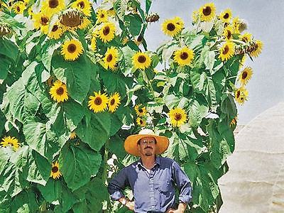 Sunflower Seeds - KONG - Monster Annual Sunflower - Multiple Flowers - 50 Seeds