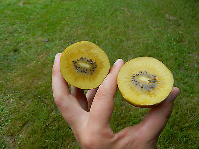 Kiwi Seeds - GOLDEN SUPER SWEET - Large Kiwi Berries - GMO FREE - 25 Seeds