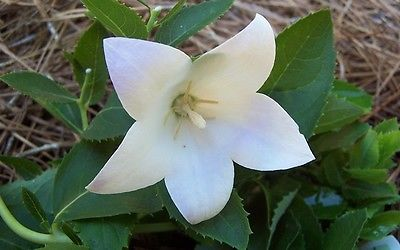 Balloon Flower Seeds - FUJI WHITE - Balloon Like Buds - Perennial - 10 Seeds