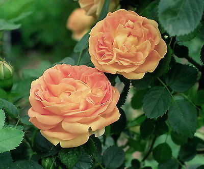 Soleil D'or Hybrid Tea Rose Seeds - Creamsicle Coloured Blooms -20 Seeds