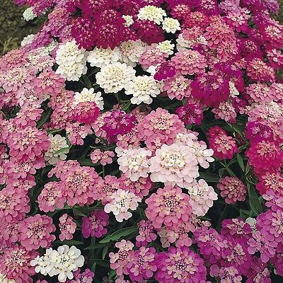 Candytuft Seeds ~ Fairy Mixed Colors ~ Low Growing, Fragrant Annual ~ 50 Seeds