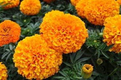 Marigold Seeds - MOONSONG DEEP ORANGE - Intense Color - theseedhouse - 25 Seeds