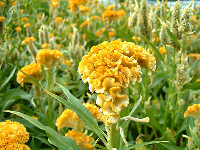 Brain Flower Seeds - CANARY YELLOW - Tropical Bushy Plant - 10+ Seeds