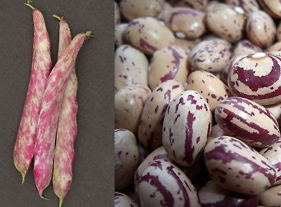 Bean Seeds - TOUCH OF FIRE - Streaked Beans - Climbing Vine - Canada - 25 Seeds