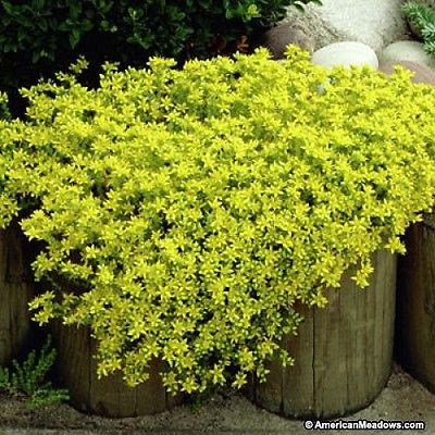 Sedum Acre Plant - GOLDEN CARPET- Drought Tolerant  - Hardy Perennial - 4 Plants