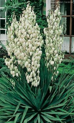 Adam's Needle Seeds - YUCCA - Slow Growing Native Evergreen Shrub - 20 Seeds