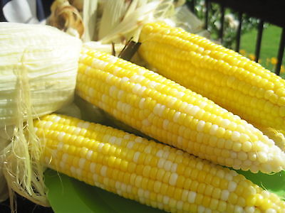 Sweet Corn Seeds - BUTTER & SUGAR -  8
