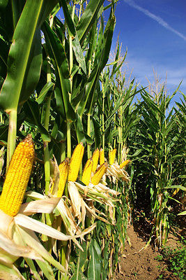 Canadian Field Corn - Silage - Cattle Feed - theseedhouse - 1 lb. Treated Seeds