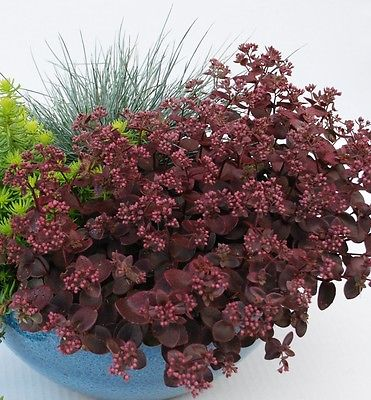 Sedum Plant - CHERRY TART - Very Easy to Grow  - Hardy Perennial - 4 Cuttings