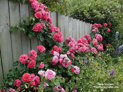 Rose Bush Seeds -DEEP PINK- Vibrant Pink Blooms 4 - 5