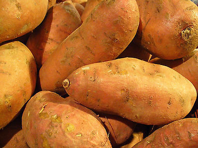 Sweet Potatoes - PORTO RICO - Bush Plant, Excellent Baked - ORGANIC - 2 Tubers