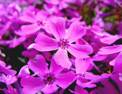 Mountain Phlox -Shades of Purple Bloom August- September -theseedhouse -25 Seeds
