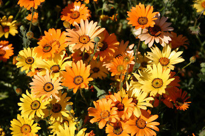 African Daisy - Produces Extravagant Color for Weeks - theseedhouse - 50 Seeds