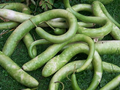 Gourd Seeds - CUCCUZI ITALIAN/SNAKE - Drying Instructions Included! - 10 Seeds