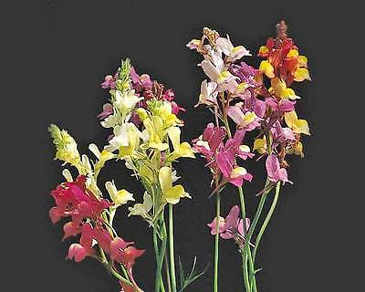 Colorful Toadflax Seeds - Linaria Vulgaris - Snapdragon-Like Blooms - 50+ Seeds
