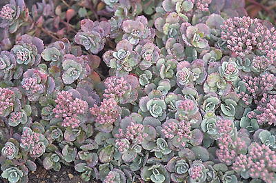 Sedum Plant - CAUTICOLA - Very Easy to Grow - Hardy Perennial - 4 Cuttings