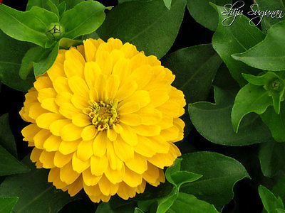Zinnia Seeds - CANARY BIRD YELLOW - Brilliant Color - theseedhouse - 20+ Seeds -