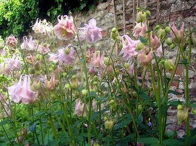 Columbine Seeds - PINK GRANNY'S BONNET - Double Pleated Blooms!!! - 10+ Seeds